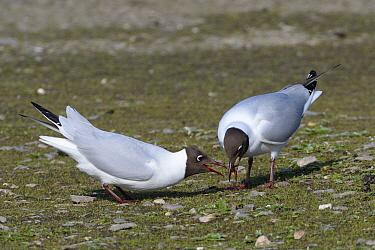Black-headed gull (Chroicocephalus ridibundus) male regurgitating food for its mate on their teritory on the margins of a lake, Gloucestershire, UK, April.