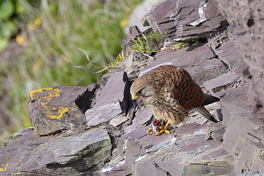 Kestrel (Falco tinnunculus) female perched on a cliff ledge while eating a Common shrew (Sorex araneus) brought by her mate as a courtship gift and held in her talons, Cornwall, UK, April.