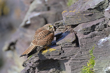 Kestrel (Falco tinnunculus) female perched on a cliff ledge with a Common shrew (Sorex araneus) brought by her mate as a courtship gift, Cornwall, UK, April.