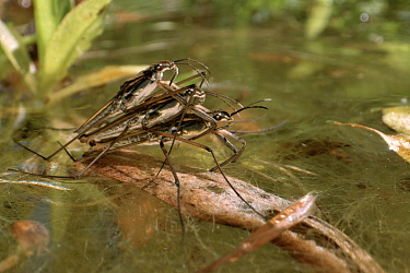 Two male Common pond skaters / Water striders (Gerris lacustris) compete to mate with a female on the surface of a garden pond, Wiltshire, UK, May.