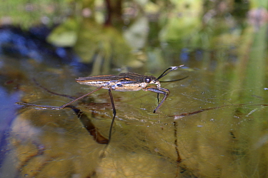 Common pond skater / Water strider (Gerris lacustris) standing on the surface of a garden pond, Wiltshire, UK, May.