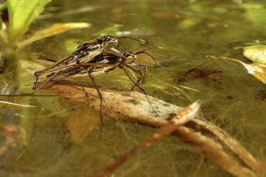 Common pond skater / Water strider (Gerris lacustris) pair mating on the surface of a garden pond, Wiltshire, UK, May.