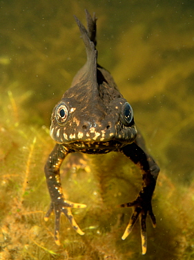 Great crested newt (Triturus cristatus) male in a garden pond at night, head-on view, Somerset, UK, March. Photographed under license.