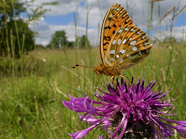 Dark green fritillary butterfly (Argynnis aglaja) nectaring on a Greater knapweed flower (Centaurea scabiosa) in a chalk grassland meadow, Wiltshire, UK, June.