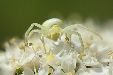 Head-on view of a Goldenrod crab spider (Misumena vatia) juvenile well camouflaged on a Common hogweed (Heracleum sphondylium) flowerhead, Wiltshire, UK, June.