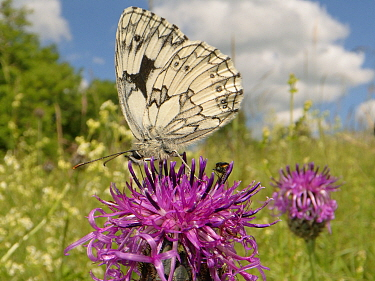 Marbled white butterfly (Melanargia galathea) nectaring on a Greater knapweed flower (Centaurea scabiosa) in a chalk grassland meadow, Wiltshire, UK, June.