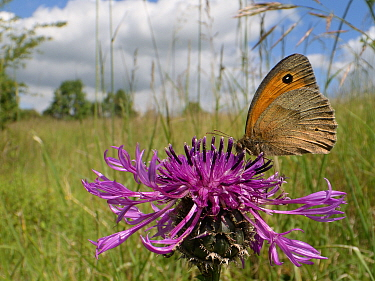 Meadow brown butterfly (Maniola jurtina) nectaring on a Greater knapweed flower (Centaurea scabiosa) in a chalk grassland meadow, Wiltshire, UK, June.