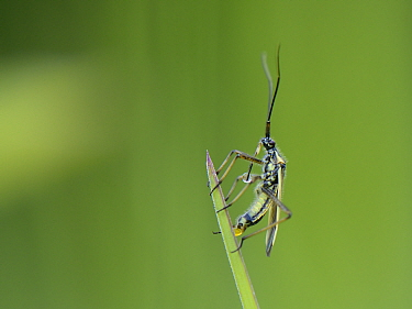Meadow plant bug (Leptopterna dolabrata) female laying an egg on a grass blade in a meadow, Wiltshire, UK, June.