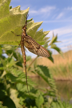 Brown mayfly (Ephemera vulgata) newly emerged on a riverside nettle leaf, River Avon, Lacock, Wiltshire, UK, May.