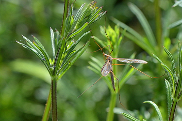 Male Common European Crane fly / Daddy long legs (Tipula paludosa) recently emerged and resting on Goose grass / Cleavers (Galium aparine) by a pond, Suffolk, UK, May.