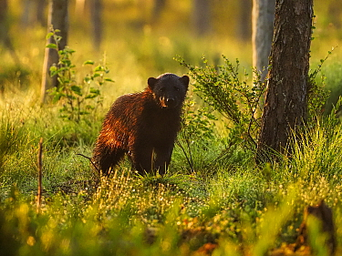 Wolverine (Gulo gulo) in forest at sunrise. Finland