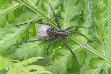 Wolf spider (Pardosa amentata) on fern, Brasschaat, Belgium. May