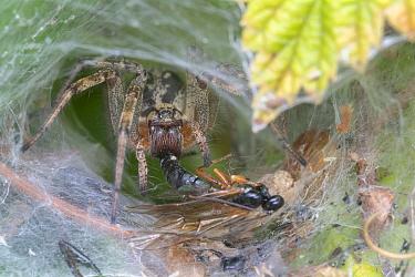 Labyrinth spider (Agelena labyrinthica) in web with prey, Brasschaat, Belgium. July