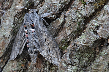 Convolvulus hawk-moth (Agrius convolvuli) resting on tree trunk, Brasschaat, Belgium. August