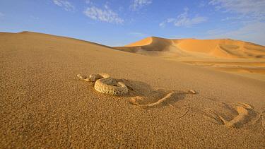 Peringuey's desert adder, (Bitis peringueyi), sidewinding on dune, Namib desert, Namibia, February . Non-ex.