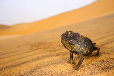 Namaqua chameleon, (Chamaeleo namaquensis), Namib desert, Namibia, February . Non-ex.