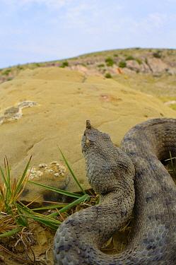 Nose-horned viper, (Vipera ammodytes), Croatia, April . Non-ex.