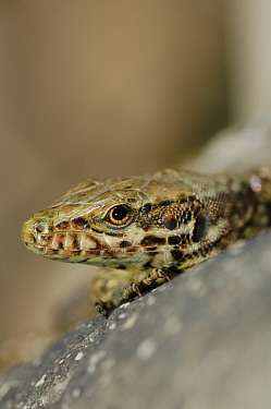Common wall lizard, (Podarcis muralis), close-up of the head, Italy, March . Non-ex.