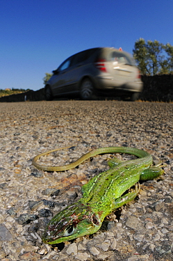 Western green lizard, (Lacerta bilineata), female, road-kill, Italy, August . Non-ex.