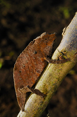 Boulenger's pygmy chameleon, (Rhampholeon boulengeri), on tree branch, Nyungwe Forest NP, Rwanda, October . Non-ex.