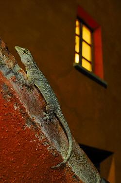 Moorish gecko, (Tarentola mauritanica), on red wall at night, Italy, July. Non-ex.