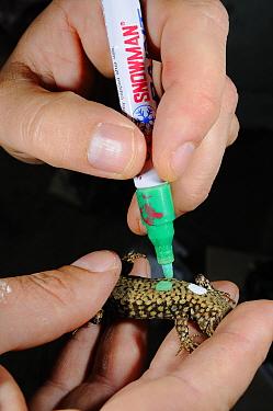 Common wall lizard, (Podarcis muralis), scientist applying non-toxic paint for visual identification, Italy, April . Non-ex.