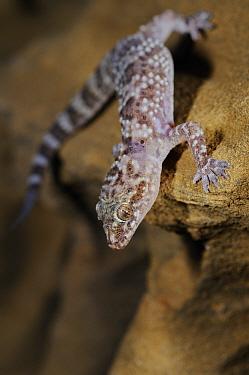 Mediterranean house gecko, (Hemidactylus turcicus), standing on sandstone, Tuscany, Italy, August . Non-ex.