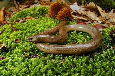 Italian slow worm, 1+Anguis veronensis+2, Italy, June . Non-ex.