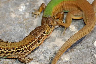 Dalmatian wall lizard, 1+Podarcis melisellensis+2, fight between two males with distinct morphs, Croatia, April . Non-ex.
