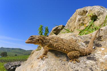 Moorish gecko, (Tarentola mauritanica), Sicily, Italy, April . Non-ex.