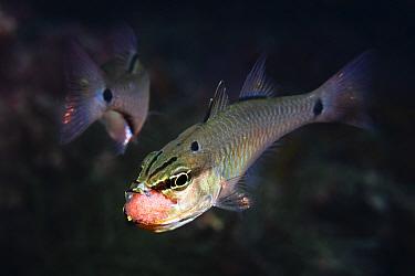 Spotnape cardinalfish (Ostorhinchus notatus) pair, male taking cluster of fertilised eggs into mouth to brood. Shizuoka Prefecture, Honshu, Japan. June.
