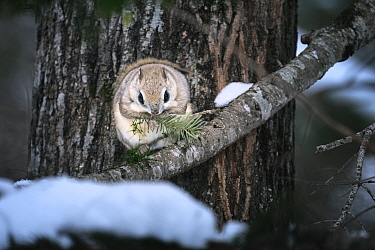 Siberian flying squirrel (Pteromys volans orii) feeding on Sakhalin fir tree. Hokkaido, Japan. March.
