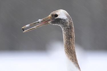 Manchurian crane (Grus japonensis) juvenile with rock in beak found whilst foraging, portrait. Hokkaido, Japan. March.