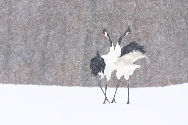 Manchurian crane (Grus japonensis) pair in courtship dance during snowstorm. Hokkaido, Japan. March.