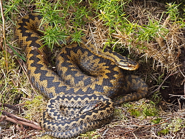 Common European adder (Vipera berus) male and female warming up in sun trap on heath, Holt, North Norfolk, England, UK. March.