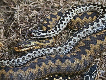 Common European adder (Vipera berus) male guarding female before mating on heath Holt, North Norfolk, England, UK. April.