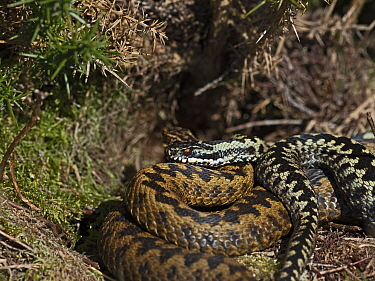 Common European adder (Vipera berus) male guarding female before mating on heath, Holt, North Norfolk, England, UK. April.