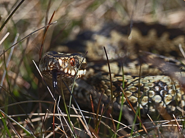 Common European adder (Vipera berus) male warming up in sun trap on heath, Holt, North Norfolk, England, UK. April.