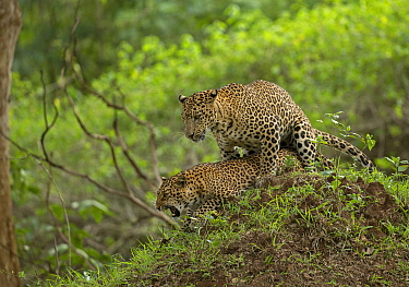 Indian leopard (Panthera pardus fusca) pair mating. Nagarhole National Park, India. Sequence 1/3. Photo Phillip Ross/Felis Images