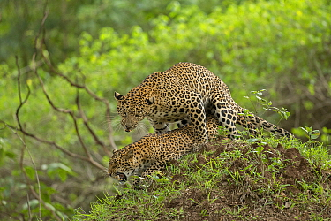 Indian leopard (Panthera pardus fusca) pair mating. Nagarhole National Park, India. Sequence 2/3. Photo Phillip Ross/Felis Images