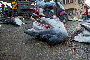 Short fin mako shark (Isurus oxyrinchus) head discarded on ground, fins were dispatched for export and remaining meat cubed for sale locally. Negombo Fish Market, Sri Lanka. 2017. Photo Vydhehi Kadur/...