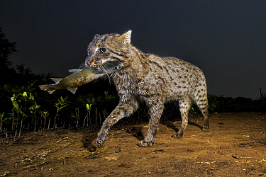 Fishing cat (Prionailurus viverrinus) walking with fish in mouth. Andhra Pradesh, India. Photo Anjani Kumar/Felis Images