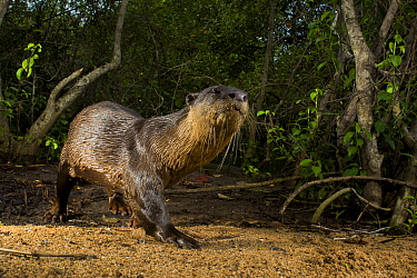Smooth-coated otter (Lutrogale perspicillata) at edge of forest. Andhra Pradesh, India. Photo Anjani Kumar/Felis Images