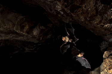 Schneider's leaf nosed bat (Hipposideros speoris), two flying in cave. Andhra Pradesh, India. Photo Anjani Kumar/Felis Images