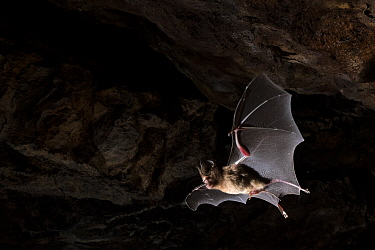 Schneider's leaf nosed bat (Hipposideros speoris) in flight in cave. Andhra Pradesh, India. Photo Anjani Kumar/Felis Images