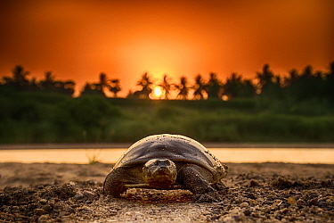 Softshell turtle (Nilssonia sp) walking on sand at sunset. Photo Anjani Kumar/Felis Images