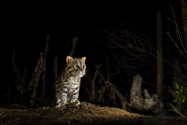 Fishing cat (Prionailurus viverrinus) standing on log at night. Kakinada, Andhra Pradesh, India. Photo Anjani Kumar/Felis Images