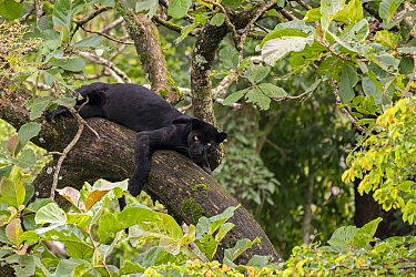 Melanistic leopard / Black panther (Panthera pardus fusca) resting in tree. Nagarhole National Park, India. Photo Phillip Ross/Felis Images