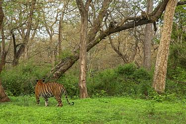 Bengal tiger (Panthera tigris) walking towards woodland and Indian leopard (Panthera pardus fusca) looking down from tree. Nagarhole Natioanl Park, Karnnataka, India. Photo Phillip Ross/Felis Images