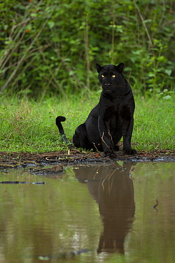Melanistic leopard / Black panther (Panthera pardus fusca) sitting, reflected in water. Nagarhole National Park, India. Photo Phillip Ross/Felis Images